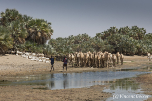 Herd of camels (Camelus) and goats led by two Gabbra men in an oasis of the Chalbi Desert, Kenya