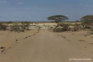 Camels (Camelus) wandering in the Chalbi Desert, Kenya