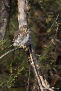 Little Owl watching on a branch, Namunyak Wildlife Conservancy, Kenya, 1