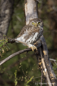 Little Owl watching on a branch, Namunyak Wildlife Conservancy, Kenya, 2