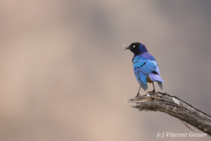 Superb starling ( Lamprotornis superbus) in tree, Tsavo East National Park, Kenya
