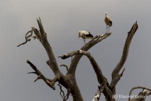 Storks (Ciconia ciconia) in tree, Masai Mara National Reserve, Kenya, 1