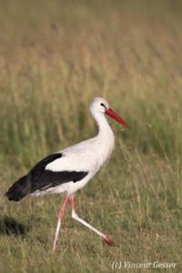 Stork (Ciconia ciconia) walking, Masai Mara National Reserve, Kenya, 1