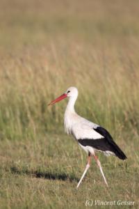 Stork (Ciconia ciconia) walking, Masai Mara National Reserve, Kenya, 2