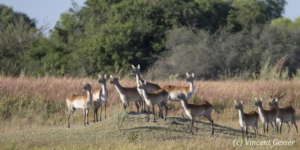 Group of Lechwes (Kobus leche) standing and observing, Moremi National Park, Botswana