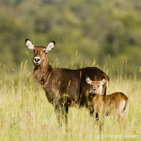 Waterbucks (Kobus ellipsiprymnus) mother and daughter watching, Masai Mara National Reserve, Kenya