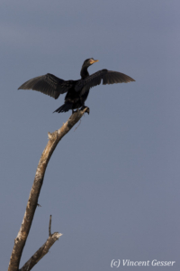Long tailed cormorant (Phalacrocorax africanus) drying feathers on tree, Lake Baringo, Kenya