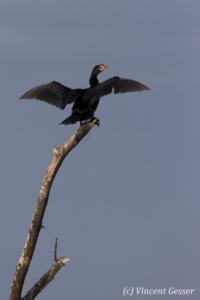 Long tailed cormorant (Phalacrocorax africanus) drying feathers on tree, Lake Baringo, Kenya