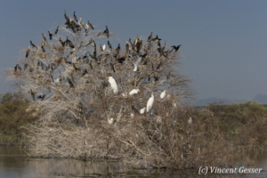 Multitude of Long tailed cormorant (Phalacrocorax africanus) and Great Egrets (Casmerodius albus) on tree, Lake Baringo, Kenya