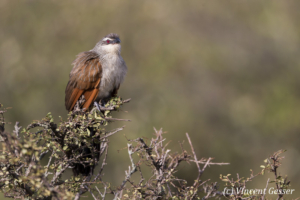 White-browed coucal (Centropus superciliosus) sitting on a branch, Masai Mara National Reserve, Kenya