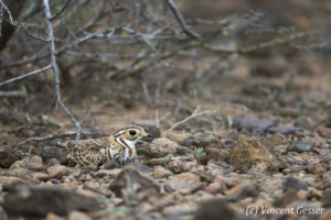 Kenya, Lake Baringo, Wildlife, Bird, Birds, Horizontal, Oiseau, Oiseaux, Courvite a triple collier, Three-banded courser (Rhinoptilus cinctus) hidden in the stones, Lake Baringo, Kenya