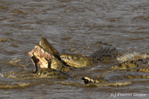 Nile crocodiles (Crocodylus niloticus) fighting over wildebeest leg, Masai Mara National Reserve, Kenya