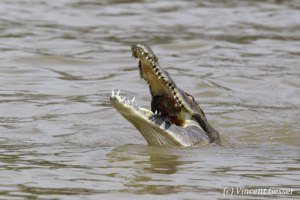 Nile crocodile (Crocodylus niloticus) catching a fish, Lake Baringo, Kenya