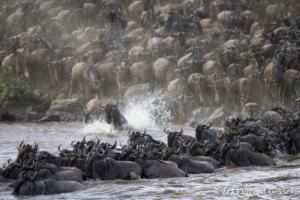Wildebeests (Connochaetes) crossing the Mara river, Masai Mara National Reserve, Kenya, 1