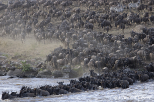 Wildebeests (Connochaetes) crossing the Mara river, Masai Mara National Reserve, Kenya, 2
