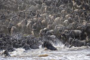 Wildebeests (Connochaetes) crossing the Mara river, Masai Mara National Reserve, Kenya, 3