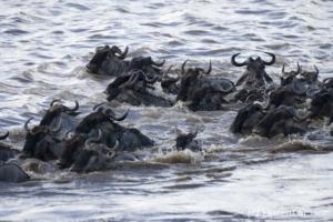 Wildebeests (Connochaetes) crossing the Mara river, Masai Mara National Reserve, Kenya, 4