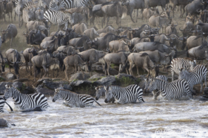 Burchell's Zebra (Equus quagga burchellii) crossing the Mara river in front of the Wildebeest (Connochaetes), Masai Mara National Reserve, Kenya
