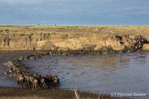 Wildebeests (Connochaetes) walking across  the Mara river, Masai Mara National Reserve, Kenya, 1