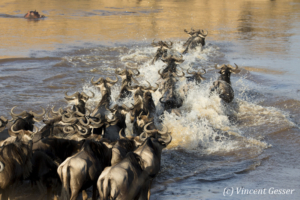 Wildebeests (Connochaetes) walking across  the Mara river, Masai Mara National Reserve, Kenya, 2