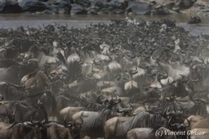 Wildebeests (Connochaetes) walking across  the Mara river, Masai Mara National Reserve, Kenya, 3