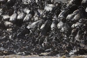 Wildebeests (Connochaetes) walking across  the Mara river, Masai Mara National Reserve, Kenya, 4