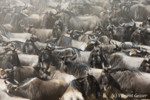 Wildebeests (Connochaetes) crossing the Mara river, Masai Mara National Reserve, Kenya