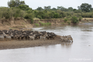 Wildebeests (Connochaetes) and Burchell's zebras (Equus quagga burchellii) standing on the edge of the Mara river, Masai Mara National Reserve, Kenya