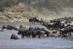 Wildebeests (Connochaetes) jumping in the Mara river, Masai Mara National Reserve, Kenya