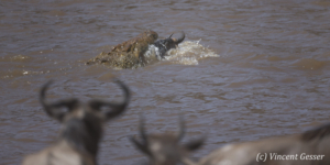 Wildebeests (Connochaetes) attached by a crocodile in the Mara river, Masai Mara National Reserve, Kenya