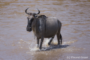Wildebeest (Connochaetes) walking out of the Mara river, Masai Mara National Reserve, Kenya