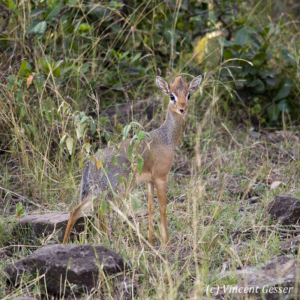 Dikdik (Madoqua kirkii) in the bush of the Masai Mara National Reserve, Kenya