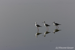 Group of Black-winged stilts (Himantopus himantopus) walking on Lake Magadi, Kenya, 1