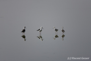 Group of Black-winged stilts (Himantopus himantopus) walking on Lake Magadi, Kenya, 2