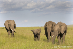 African elephant (Loxodonta africana) gathering around a young on the plains of Masai Mara National Reserve, Kenya