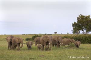 African elephant (Loxodonta africana) groups roaming the plains of Masai Mara National Reserve, Kenya, 2