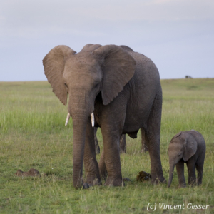 African elephant (Loxodonta africana) cow and newborn calf grazing on the plains of Masai Mara National Reserve, Kenya