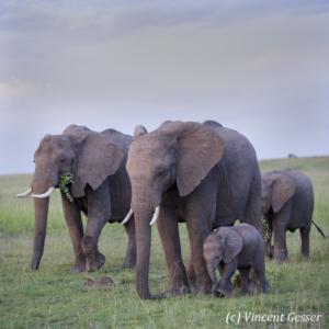 Family of African elephants (Loxodonta africana) walking on the plains of Masai Mara National Reserve, Kenya