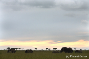 Group of African elephants (Loxodonta africana) in the high grass of Masai Mara National Reserve, Kenya