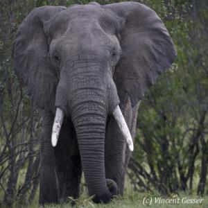 Big African elephant (Loxodonta africana) bull walking towards you, Masai Mara National Reserve, Kenya