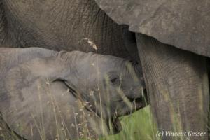 Newborn African elephant (Loxodonta africana) sucking, Masai Mara National Reserve, Kenya