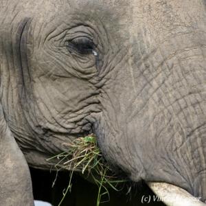 Close portrait of African elephant (Loxodonta africana) eating grass, Masai Mara National Reserve, Kenya