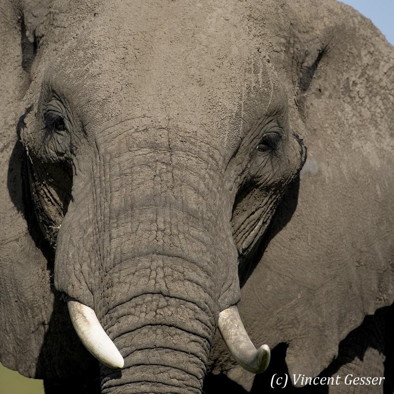 Close portrait of African elephant (Loxodonta africana) bull, Masai Mara National Reserve, Kenya