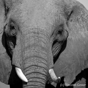 Close portrait of African elephant (Loxodonta africana) bull in Black and White, Masai Mara National Reserve, Kenya