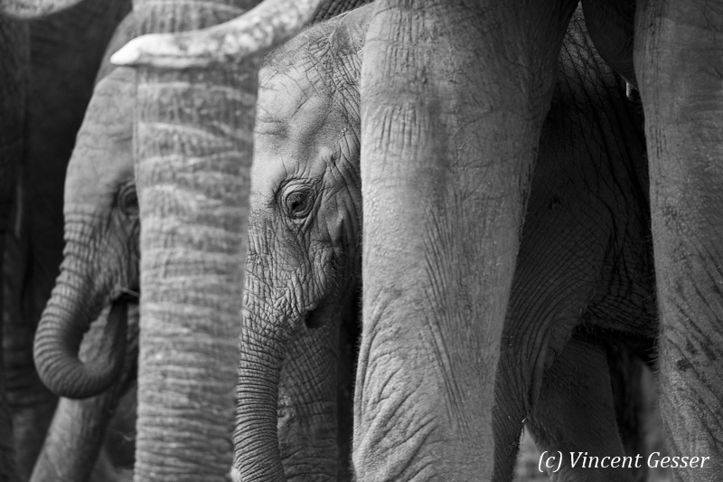 New born African elephants (Loxodonta africana) protected by their mothers, Masai Mara National Reserve, Kenya