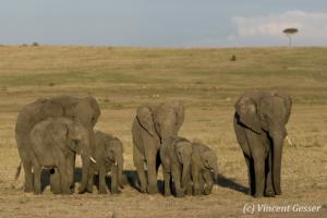 Family of African elephants (Loxodonta africana) waiting, Masai Mara National Reserve, Kenya