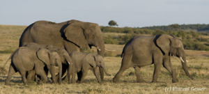 Family of African elephants (Loxodonta africana) walking, Masai Mara National Reserve, Kenya
