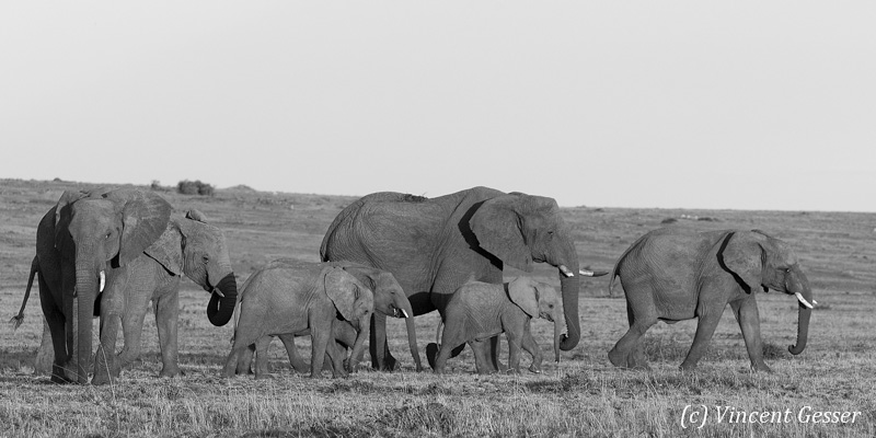 Family of African elephants (Loxodonta africana) walking, Black and White, Masai Mara National Reserve, Kenya