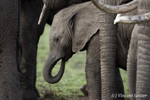 Young African elephant (Loxodonta africana) within a group, Masai Mara National Reserve, Kenya, 2