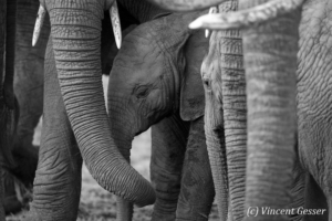 Young African elephants (Loxodonta africana) within a group, Black and White, Masai Mara National Reserve, Kenya